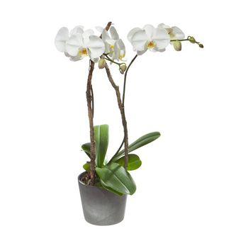 Fleurop Weisse Orchidee (Phalaenopsis) im Cachepot